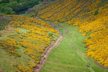 Path full of walkers in the middle of an expanse of flowers of Ulex Europaeus, also known as Gorse, Holyrood Park, Scotland