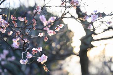 逆光の梅の花