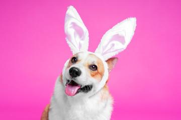 portrait cute dog welsh corgi pembroke as easter hare on pink background