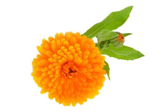 Calendula officinalis. Marigold flower with leaf isolated on white background.