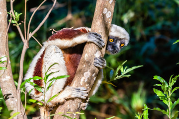 Fototapeten Affe Curious coquerel's sifaka on a tree