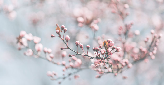 Closeup of spring pastel blooming flower in orchard. Macro cherry blossom tree branch.