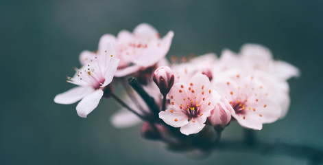 Closeup of spring blossom flower on dark bokeh background. Macro cherry blossom tree branch.
