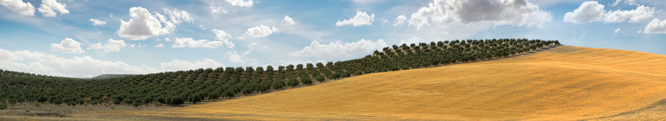 In de dag Mediterraans Europa Panoramic image of olive plantation