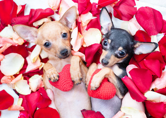 Two toy terrier puppies hold red hearts and lie on petals of the rose flower