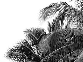 Wall Mural - black and white coconut leaf