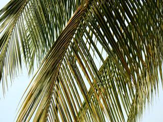 Wall Mural - dry coconut leaf