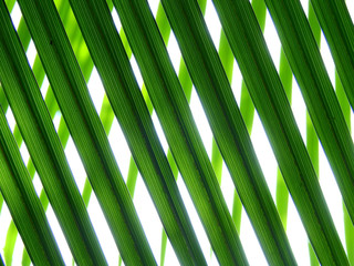 Wall Mural - green palm leaf on white background