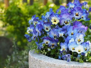 青い満開のパンジーの花