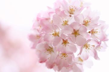 Keuken foto achterwand Kersenbloesem 桜(ジンダイアケボノ)