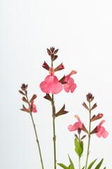"Pink flower of Salvia greggii ""Denise"" autumn sage"
