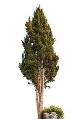 green slender cypress on white