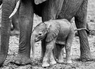 Tiny New Born Elephant Calf standing close to it's Mother in South Luangwa National Park, Zambia
