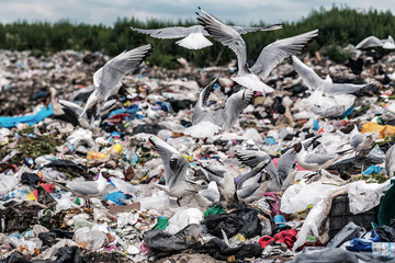 screaming gulls on illegal dump