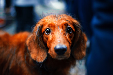 Close-up portrait of dark brown dachshund looking in camera in rainy day. Long red dog best friend of human. Hunting dog on city street