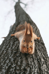Red squirrel eats nuts hanging upside down on tree. Feeding city animals in winter.