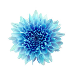 Canvas Prints Dahlia Blue flower chrysanthemum. Garden flower. white isolated background with clipping path.