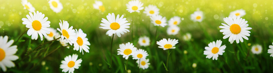 Photo sur Toile Marguerites Summer field with white daisy flowers . Flowers background.