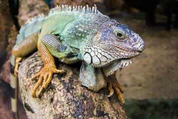 Close-up of a male Green Iguana