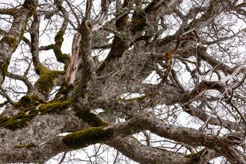 quercia, inverno