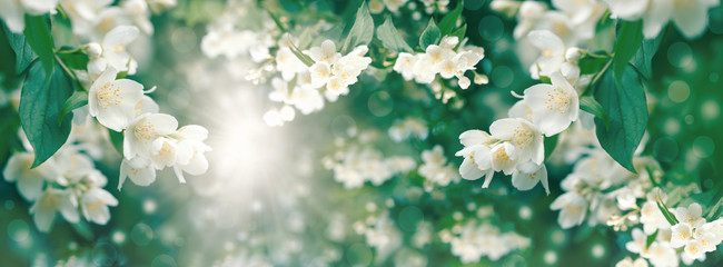 Beautiful jasmine flower flowering (blooming),  beautiful scent of the flower spreads through the air Fotobehang