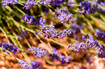 Close up shot of a bee on a lavender flower. Show of colors in the lavender fields. Horizontal and in a very high definition photo.