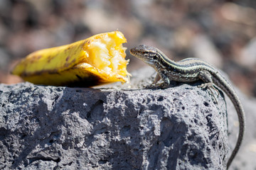 La Palma wall lizards (gallotia galloti palmae) eating discarded banana on volcanic rock. The male lizard has light blue coloring under neck. La Palma Island, Canaries, Spain