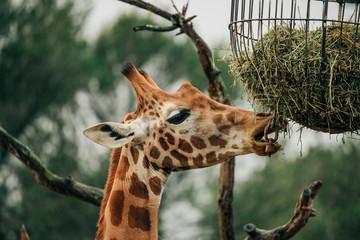 Photo sur Aluminium Girafe Tête de girafe qui mange se nourrit. Girafe marron tâchetée