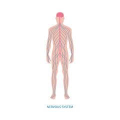 Nervous system - cartoon diagram of male human body with blue nerve lines