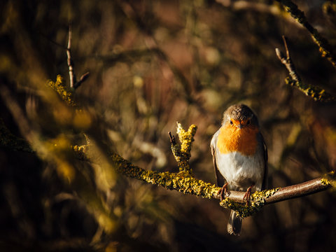 Germany, Portrait of European robin (Erithacus rubecula) perching on tree branch