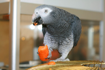 a parrot eats a carrot on a cage