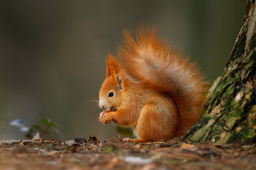 Red squirrel eats the nut in the natural environment, beautiful bokeh, close up, Sciurus vulgaris
