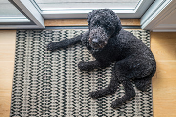 Overhead view of a black poodle laying down on the floor by a sliding door