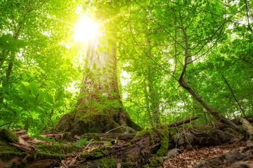 Großer Baum wird mit Sonnenlicht geflutet. Ökosystem unserer Erde.