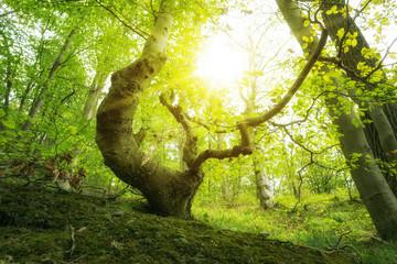 Krummer Baum und Sonnenstrahlen an einem Hang. Grüne Atmosphäre in der Natur