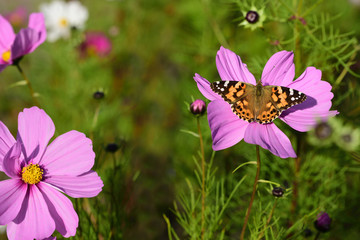 Close-up of a colorful bright flower meadow in summer with a colored butterfly looking for nectar.