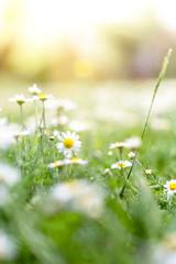 In de dag Madeliefjes Field of white daisy flowers