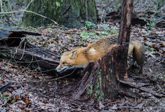 Red fox canine caught by trapper in live trap. Wildlife trapped in foothold trap. Management and recreational sport activity of animal hunting and trapping.