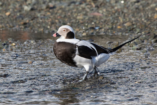 male long-tailed ducks walking along the bank of the winter day
