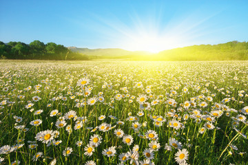 Wall Mural - Beautiful sunny camomile meadow