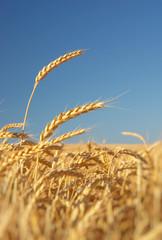 Wall Mural - Ear of wheat.