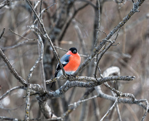 Male bullfinch sitting on a branch in the winter forest