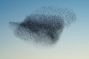 Beautiful large flock of starlings. A flock of starlings birds fly in the Netherlands. During January and February, hundreds of thousands of starlings gathered in huge clouds. Hunting the starlings. Fotomurales