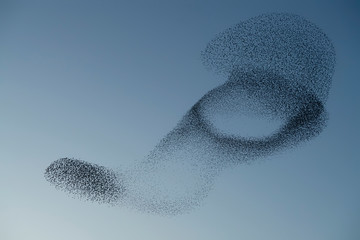 Beautiful large flock of starlings. A flock of starlings birds fly in the Netherlands. During...