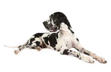 Spotted purebred Great Dane dog on a white background Fotobehang