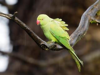 Fotoväggar - Ring-necked parakeet, Psittacula krameri