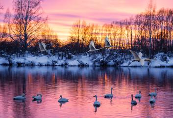 Wild swans wintering on lake Svetloye in the Altai territory at sunset. Russia