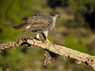 Fotoväggar - Goshawk, Accipiter gentilis
