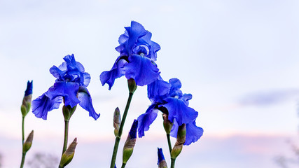Iris flowers with blue petals on a light sky background_