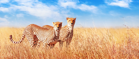 Cheetah in the African savannah. Africa, Tanzania, Serengeti National Park. Banner design. Wild life of Africa.